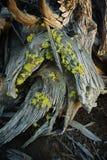 Raizes da árvore do zimbro no fim da tarde imagem de stock