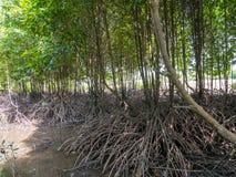 Raizes da árvore dos manguezais que espalham sobre um estuário maré nos manguezais Forest Conservation imagem de stock royalty free