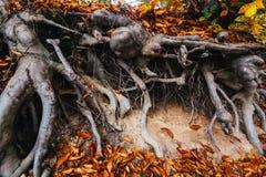 Raizes da árvore expostas Fotos de Stock