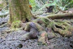 Raizes da árvore Hup em Pa Tat Foto de Stock