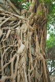 Raizes da árvore na parede imagem de stock
