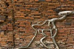 Raizes da árvore na parede antiga fotografia de stock royalty free