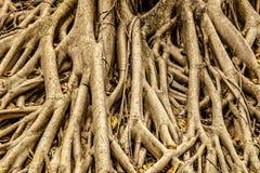 Raizes da árvore para o fundo Fotografia de Stock Royalty Free