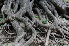 Raizes da árvore velha Imagem de Stock Royalty Free