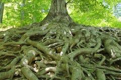 Raizes da árvore Fotografia de Stock Royalty Free