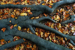 Raizes das árvores Fotos de Stock Royalty Free