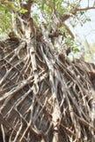 Raizes das árvores nas paredes Fotografia de Stock Royalty Free