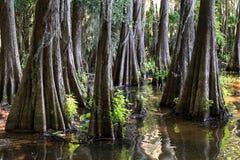 Raizes de árvores de Cypress no lago Caddo, Texas Fotografia de Stock