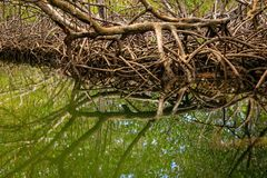 Raizes de árvores dos manguezais na borda da água Arena de Cayo, Punta Ruc imagens de stock
