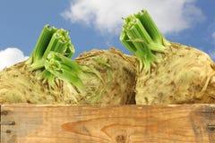 Raizes de aipo frescas com alguma folha Fotografia de Stock