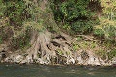 Raizes de Cypress Foto de Stock Royalty Free