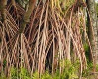 Raizes de suporte aéreas da árvore do pandanus igualmente conhecidas como o pinho pandan ou de parafuso ou a palma do parafuso foto de stock
