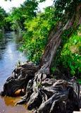 Raizes de uma árvore da floresta úmida Foto de Stock