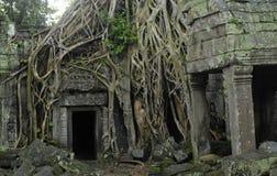 Raizes de uma árvore do algodão de seda em Ta Prohm Fotos de Stock