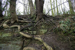 Raizes de uma árvore velha Fotografia de Stock Royalty Free