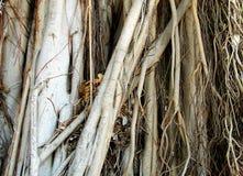 Raizes de uma grande árvore tropical Imagens de Stock