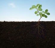 Raizes de uma planta Imagens de Stock Royalty Free
