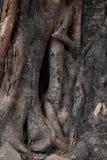 Raizes do Banyan foto de stock