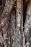 Raizes do Banyan foto de stock royalty free