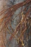 Raizes do tronco de árvore do Banyan Fotografia de Stock