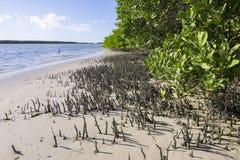 Raizes do tubo de respiração de manguezais pretos em Florida Foto de Stock