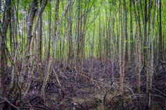 Raizes dos manguezais Fotografia de Stock Royalty Free