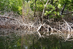 Raizes dos manguezais Fotos de Stock Royalty Free