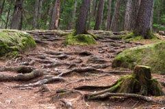Raizes dos pinhos na floresta alpina Fotos de Stock Royalty Free