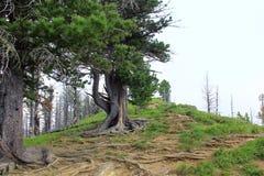 Raizes e tronco da árvore na floresta da montanha foto de stock