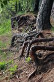 Raizes enormes das árvores que colam fora da terra na costa do lago Imagens de Stock Royalty Free