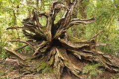Raizes enraizadas-para fora da árvore caída Fotografia de Stock