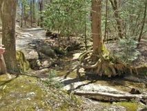 Raizes expostas da árvore sobre Sandy Creek grande no parque estadual de pedra da montanha Foto de Stock