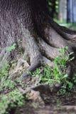 Raizes grandes da árvore velha grande Fotos de Stock