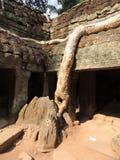 Raizes grandes no templo de cambodia Fotografia de Stock Royalty Free