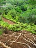 Raizes havaianas da floresta húmida Imagens de Stock Royalty Free