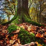 Raizes Mossy da árvore Fotos de Stock Royalty Free