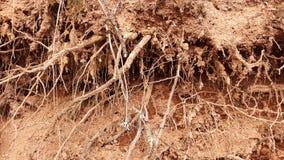 Raizes no solo seco da natureza imagens de stock