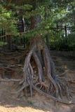 Raizes poderosas da árvore fotografia de stock