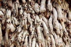 Raizes secas de uma árvore de coco Imagem de Stock Royalty Free