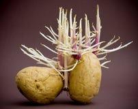 Raizes sprouting de Potatos Imagens de Stock