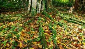 Raizes tropicais coloridas da árvore de Bornéu imagem de stock
