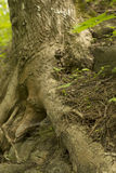 Raizes velhas da árvore na terra Imagens de Stock