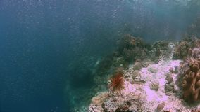 Raja Ampat Indonesia colorful coral reef 4k. Colorful coral reef with healthy corals and plenty fish. South Raja Ampat school of silverfish dive site Barracuda stock footage