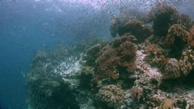Raja Ampat Indonesia colorful coral reef 4k. Colorful coral reef with healthy corals and plenty fish. South Raja Ampat school of silverfish dive site Barracuda stock video