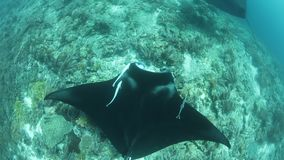 Manta Rays Swim in Raja Ampat. In Raja Ampat, Indonesia, manta rays, Manta alfredi, cruise over a shallow, underwater ridge where they are being cleaned of stock video footage