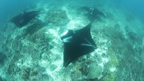 Manta rays swim over cleaning station in Raja Ampat. In Raja Ampat, Indonesia, manta rays, Manta alfredi, cruise over a shallow, underwater ridge where they are stock video