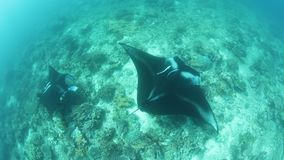 Manta Rays at Cleaning Station in Raja Ampat. In Raja Ampat, Indonesia, manta rays, Manta alfredi, cruise over a shallow, underwater ridge where they are being stock video footage