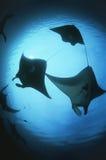Raja Ampat Indonesia Pacific Ocean-silhouetten lage de hoekmening van van mantastralen (Manta-birostris) Royalty-vrije Stock Fotografie