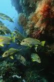Raja Ampat Indonezja Pacyficznego oceanu szkoła orientalni sweetlips gromadzi się pod rafą koralowa w jamie (Plectorhinchus orient fotografia stock