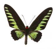 Raja Brooke tropiska Birdwings- buttelfly Royaltyfria Bilder